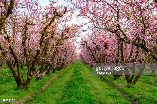 peach blossoms in a farm in fresno - peach tree stock pictures, royalty-free photos & images