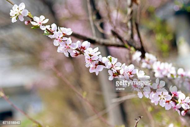 peach blossoms on the branch - bucheon stock pictures, royalty-free photos & images