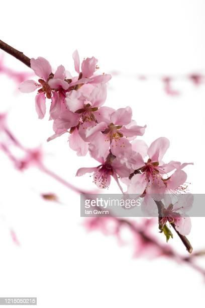 peach blossoms - ian gwinn stockfoto's en -beelden