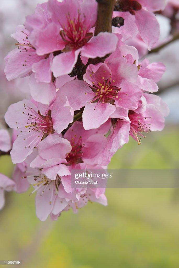 Peach blossoms : Stock Photo