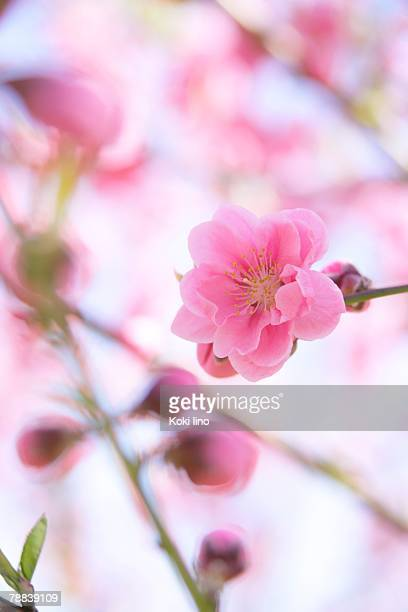 peach blossoms - peach blossom stock pictures, royalty-free photos & images