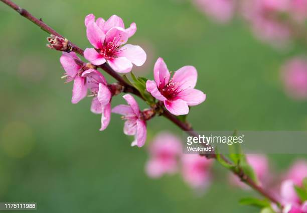 peach blossoms, prunus persica, close-up - peach blossom stock pictures, royalty-free photos & images