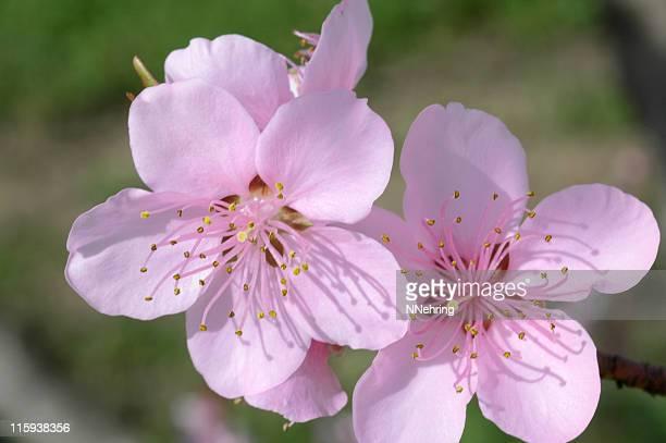 Peach Blossoms Prunus Persica