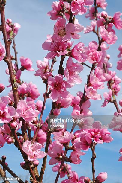 peach blossoms, prunus persica - peach blossom stock pictures, royalty-free photos & images