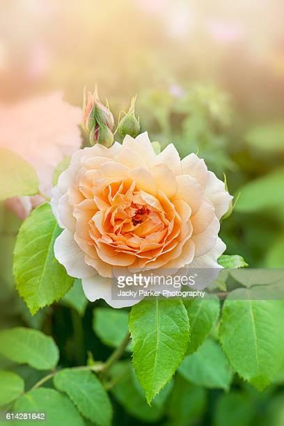 Peach Coloured Rose Flower