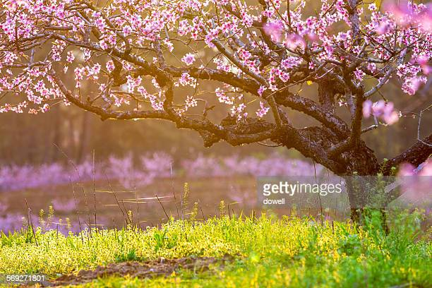 peach flower blooming in spring - peach tree stock pictures, royalty-free photos & images
