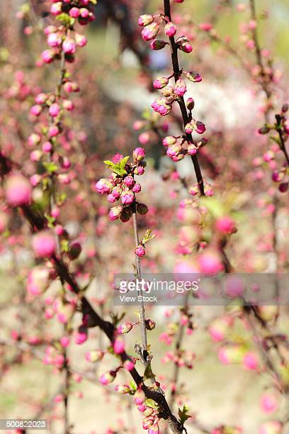 peach flower - peach blossom stock pictures, royalty-free photos & images