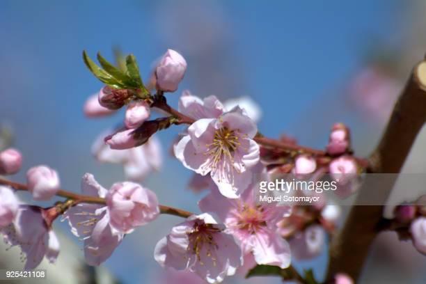 peach flowering - murcia - fotografias e filmes do acervo