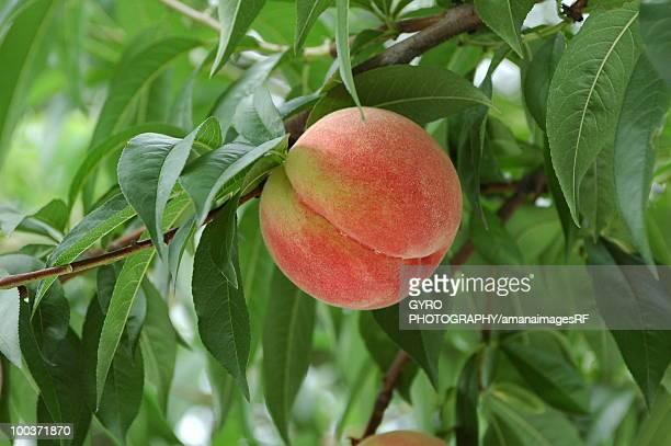 Peach on branch, close up