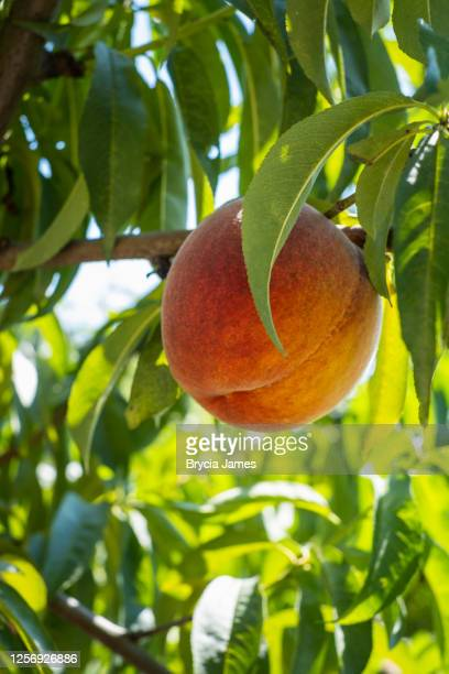 peach on the tree - brycia james stock pictures, royalty-free photos & images