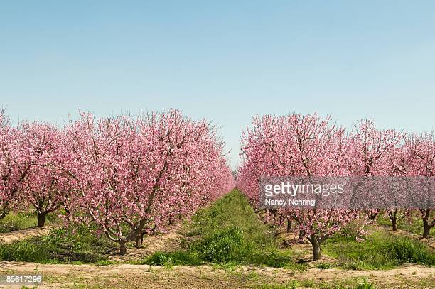 peach orchard in bloo