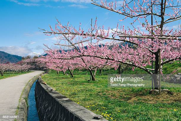 peach orchard in yamanashi japan - peach blossom stock pictures, royalty-free photos & images