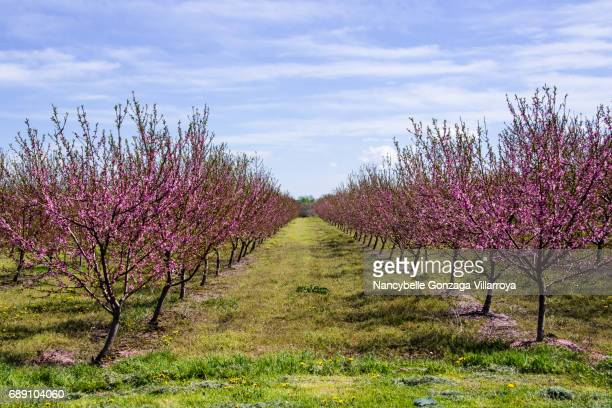 peach orchard - peach tree stock pictures, royalty-free photos & images