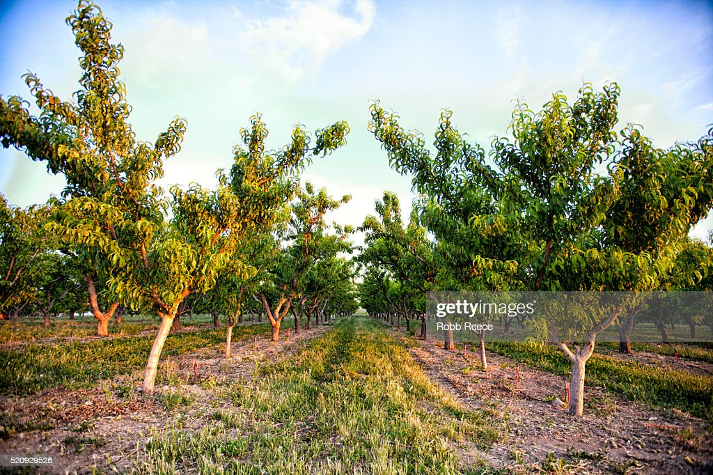 Peach orchard trees in Palisade, Colorado : Stock Photo