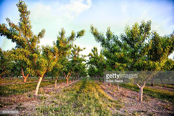 peach orchard trees in palisade, colorado - robb reece stockfoto's en -beelden