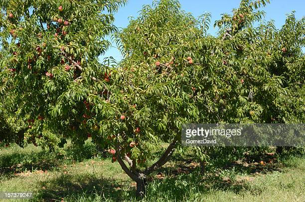 Peach Orchard With Ripening Fruit on Trees