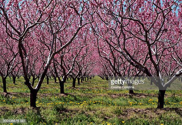peach orchards in bloom - peach tree stock pictures, royalty-free photos & images