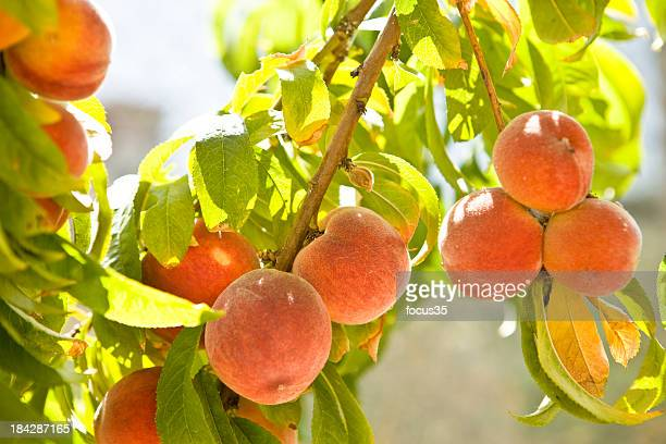 peach - peach tree stock pictures, royalty-free photos & images