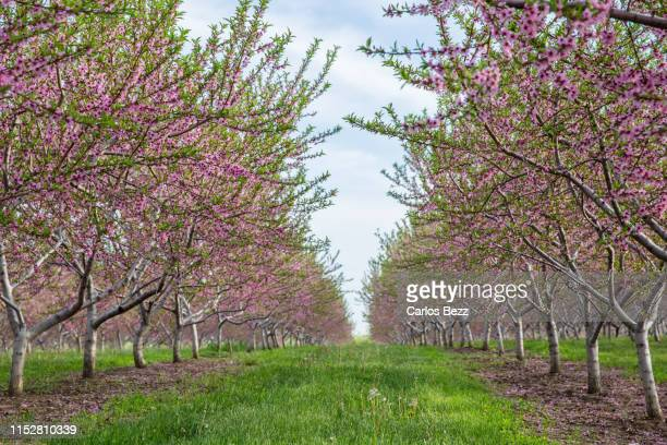peach plantation - peach blossom stock pictures, royalty-free photos & images