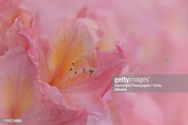 peach rhododendron - peach flower stockfoto's en -beelden
