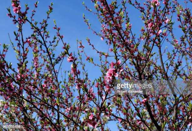A peach tree blooms at Mount Vernon the plantation owned by George Washington the first President of the United States in Fairfax County Virginia...