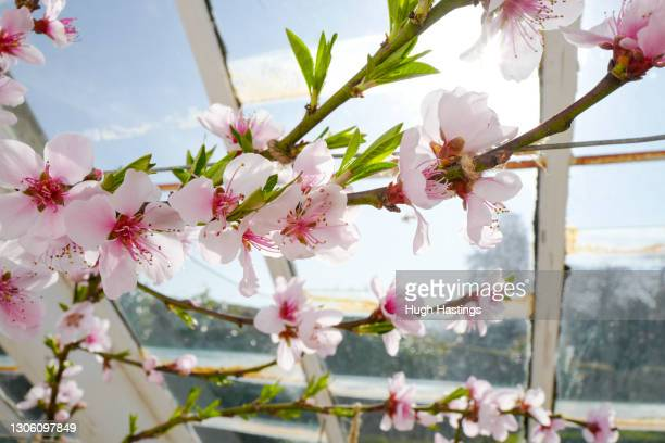 Peach tree blossom at Heligan Gardens on March 08, 2021 in St Austell, England. The Lost Gardens of Heligan are currently open three days a week to...