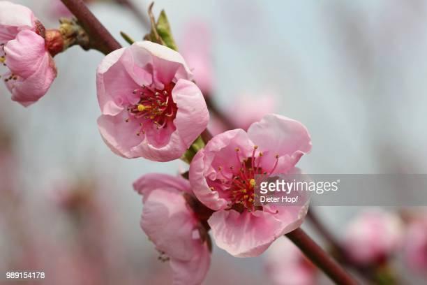 peach tree (prunus persica) blossom, wachau, lower austria, austria - peach blossom stock pictures, royalty-free photos & images