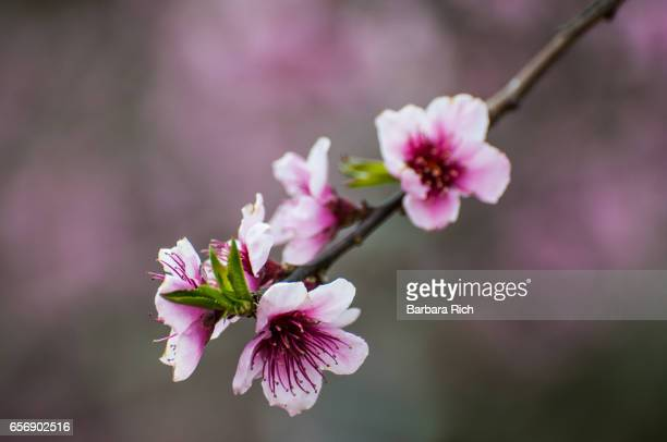 peach tree branch with pink blossoms and new leaves starting to emerge - peach blossom stock pictures, royalty-free photos & images
