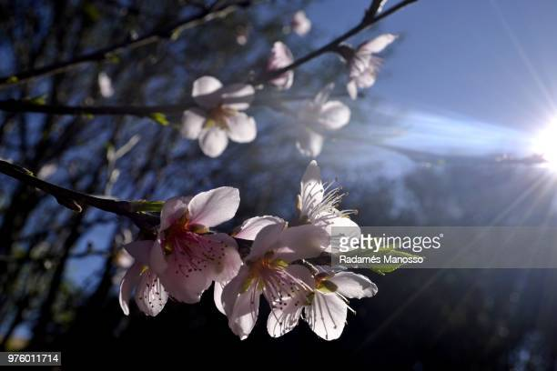 Peach tree flower in bloom