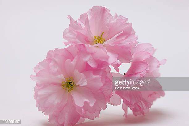 peach tree - peach blossom stock pictures, royalty-free photos & images