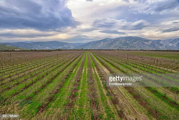 peach tree plantations near selcuk - emreturanphoto stock pictures, royalty-free photos & images