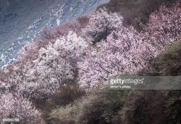 peach tree road in tibet - peach blossom bildbanksfoton och bilder