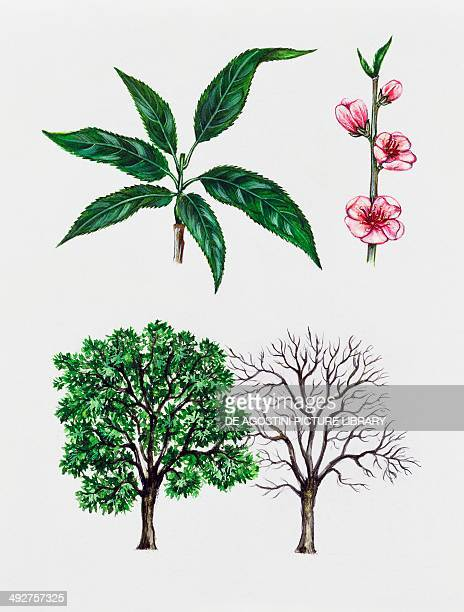 Peach tree Rosaceae tree with and without foliage leaves and flowers illustration