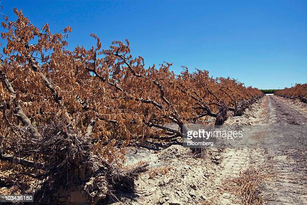 Peach trees are uprooted in the orchard of a fruit packing company after being pulled to make room for highergrossing almond and citrus trees in...