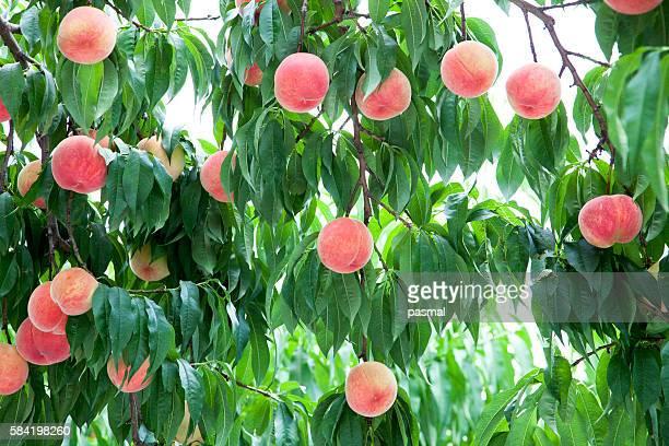 Peach trees, Fukushima Prefecture, Honshu, Japan