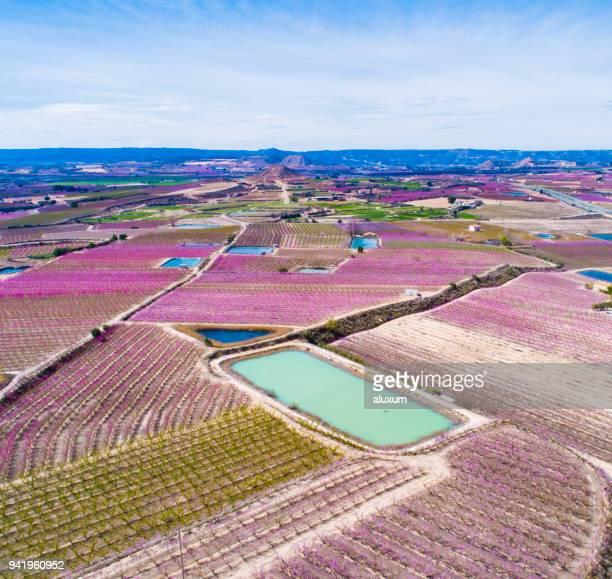 pfirsichbäume blühen im frühjahr in aitona lleida katalonien spanien - provinz lerida stock-fotos und bilder
