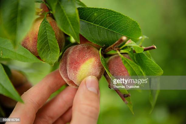 Peaches are picked from a peach tree on August 12 2016 in Berlin Germany