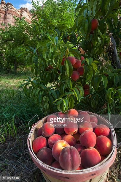 Peaches at Fruita. Capitol Reef National Park, Utah. USA.