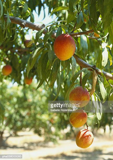 Peaches hanging from branches, orchard in background