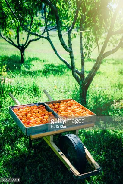 Peaches in wheelbarrow near trees