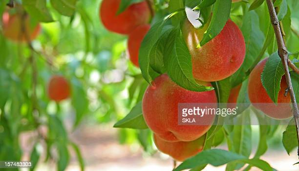 peaches on a peach tree (close-up) - peach tree stock pictures, royalty-free photos & images