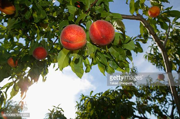 Peaches on tree branch, low angle view