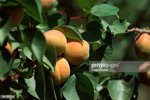 peaches on tree - peach tree stock pictures, royalty-free photos & images