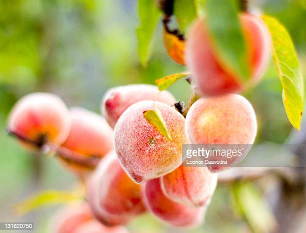 peaches - peach tree stock pictures, royalty-free photos & images