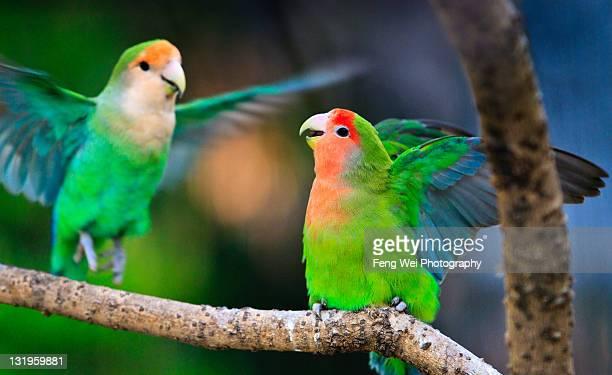 Peach-faced lovebird couple in Shanghai