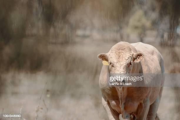 peachy bull - lianne loach stock pictures, royalty-free photos & images