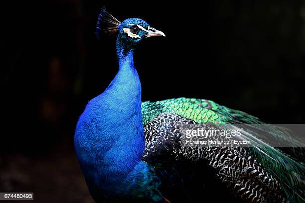 peacock against black background - peacock stock pictures, royalty-free photos & images