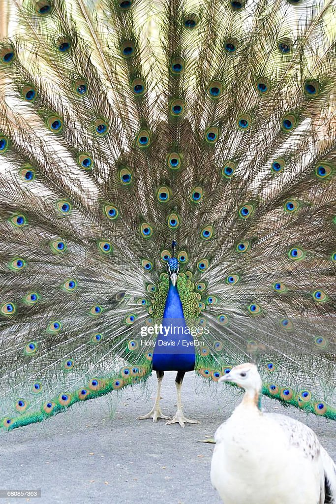 Peacock And Peahen On Field : Stock-Foto
