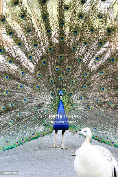 Peacock And Peahen On Field