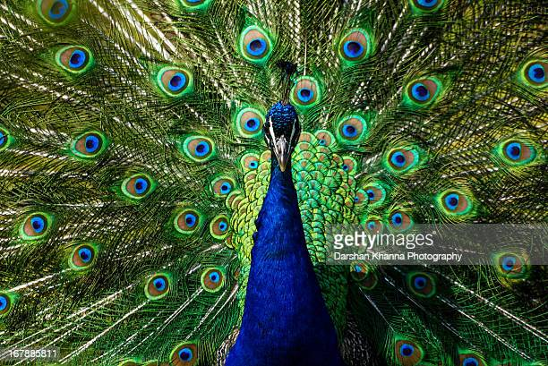 Peacock at its best